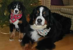 bernese mountain dog breeder