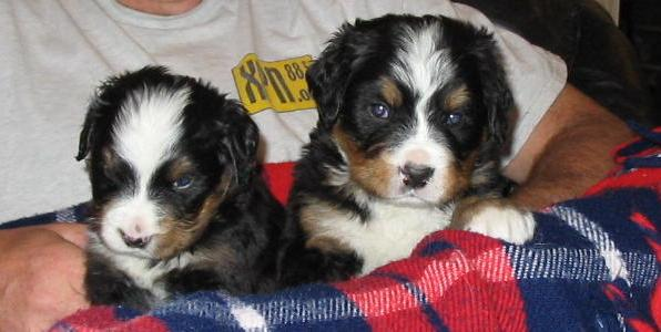 Male Bernese Mountain Dog Puppies