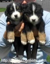 2femalebernese