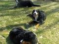 3bernesedogs