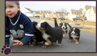 Bernese Mountain Dog Puppies from Hylens Berners